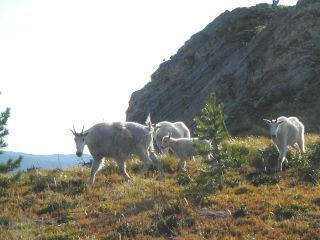 Mountain Goats above0001